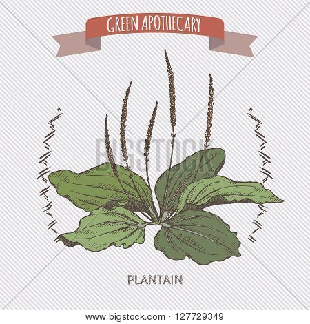 Color plantago major aka broadleaf plantain or fleawort sketch. Green apothecary series. Great for traditional medicine, gardening or cooking design.