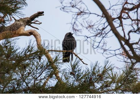 Western jackdaw sitting on the branch of a pine tree