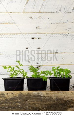 Young Green Shoots Of Feverfew Medicinal Herb White Background