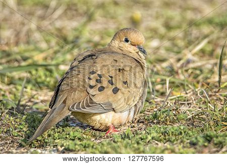 A peaceful Mourning Dove rests in the morning sunlight at a Wisconsin park.
