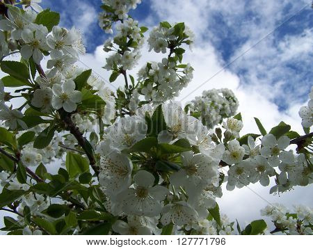 Cherry bloom cluster with cloudy sky behind - selective focus