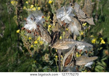 The seed pods of a common milkweed plant (Asclepias syriaca) open to disburse seeds during November at the Wildflower Park in Naperville, Illinois.