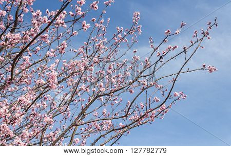 Cherry Blossom with blue sky background Sakura season in Japan.