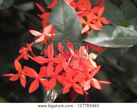 Asoka red flowers taken pictures of East Kalimantan