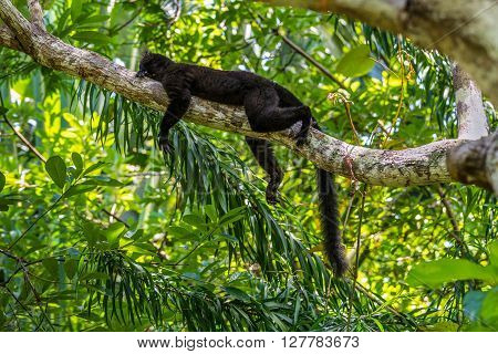 Black lemur sleeping on a branch in the wild forest - Nosy Be Madagascar