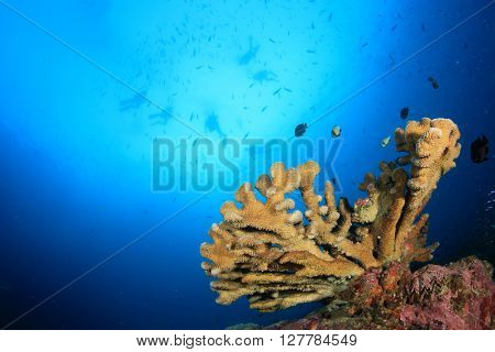 Acropora hard coral with scuba divers in background