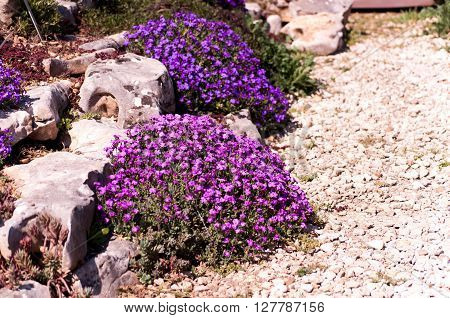Purple blooming aubrieta in a rock garden