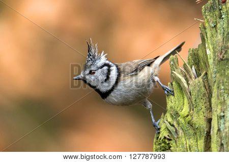 Crested Tit (Lophophanes cristatus) in natural habitat
