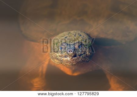 Close-up of the face of a large Snapping Turtle sticking its head out of the water in a Chesapeake Bay pond