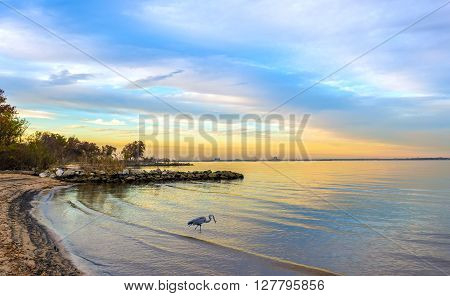 Great Blue Heron catching a fish on a Chesapeake Bay beach at sunset