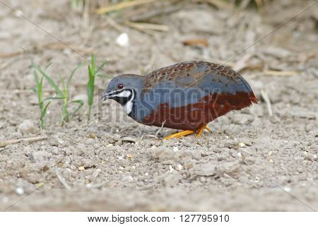 King quail Blue-breasted quail Male Coturnix chinensis Birds of Thailand