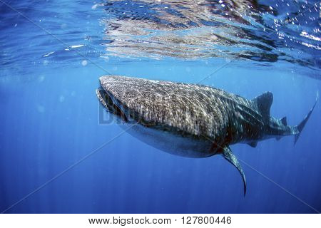 Whale shark swimming in crystal clear ocean water.
