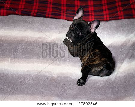Dog lying on the bed. On plaid bed. The dog is black, thoroughbred - French bulldog. Dog puppy, brindle