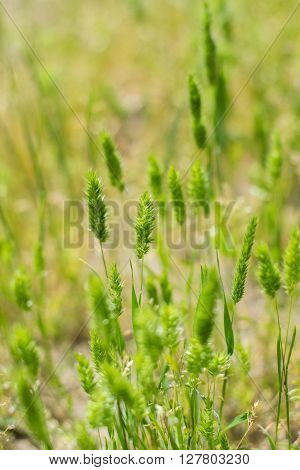 Timothy meadow green grass closeup in outdoor