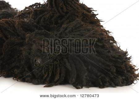 dog roll over - corded puli laying on back looking at viewer - hungarian herding dog poster