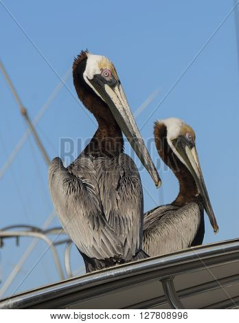 Two Pelicans watch for food at a dock in Port Canaveral Florida