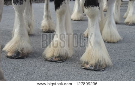The Hooves of the world famos Budweiser Clydesdales ready for a parade in downtown Historic New BernNorth Carolina
