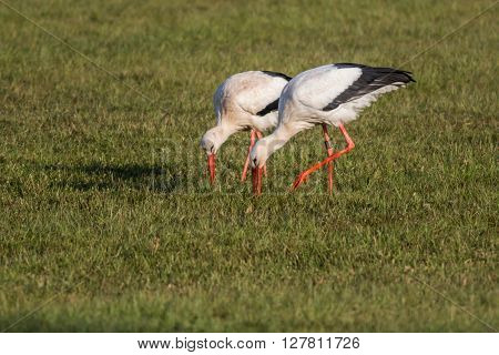 Two white storks are searching for fodder