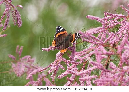 Red Admiral Butterfly On Tamarisk