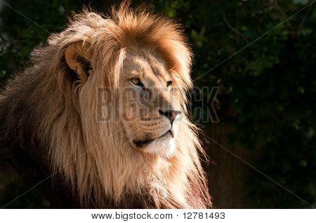 Head Of A Magnifcent Lion