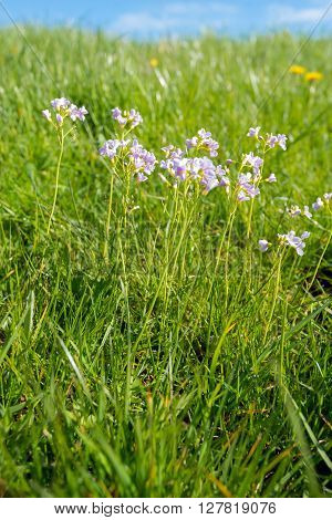 Closeup of violet budding blossoming and overblown Lady's Smock or Cardamine pratensis growing in the wild nature between fresh green grass on a sunny day with a blue sky in springtime.