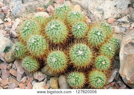 a Detail of a group Globular cacti