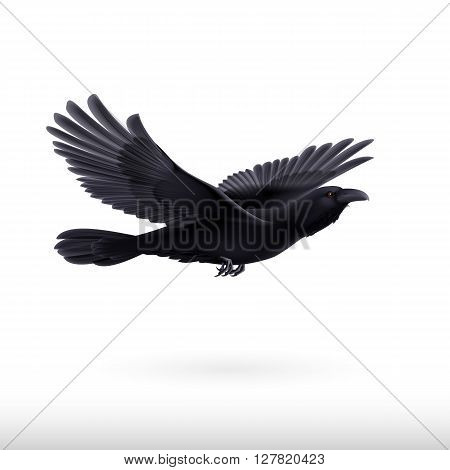 Black crow precipitously flying on the white background
