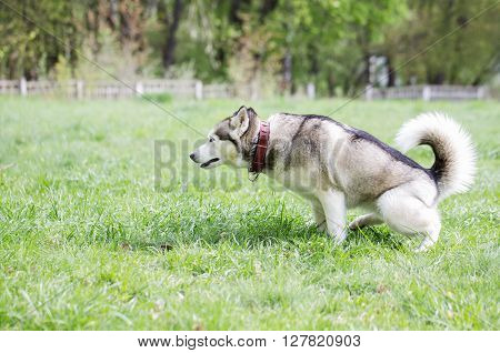 Siberian husky defecates. Siberian husky on a walk in the park.