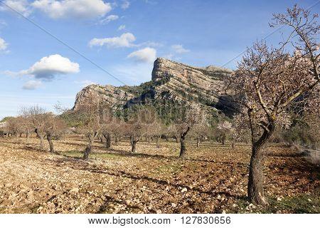 Almonds blossom in Matarranya. Teruel province. Spain