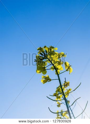Canola yellow Rapeseed flowers grown as cooking oil or conversion to biodiesel