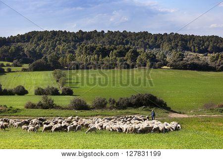 HORTA DE SANT JOAN-APRILl 10 2016: Shepherd leading a flock of sheep to graze in the meadow near to Horta de Sant Joan on april 10, 2016