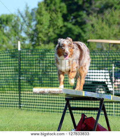 Red Merle Australian Shepherd (Aussie) on a Teeter-Totter at Dog Agility Trial