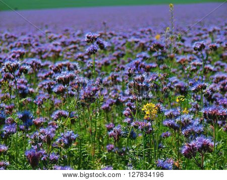 Purple Tansy Field In Countryside In Hot Summer Day. Green Blue Purple Flowers In Blossom