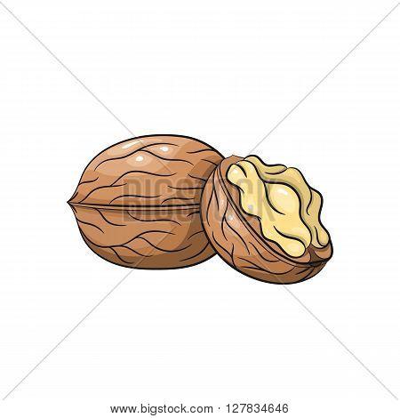 Vector walnut illustration. Slice of walnut, walnut isolated on white background. Vector sketch hand drawn - stock vector