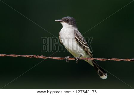 Eastern Kingbird on barbwire against a dark green background.