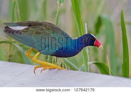 Purple Gallinule or Yellow-legged Gallinule eating wild rice.