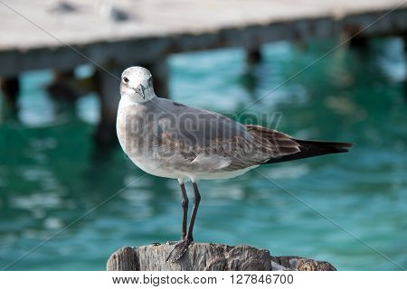 Seagull on Isla Mujeres boat dock post across from Cancun Mexico