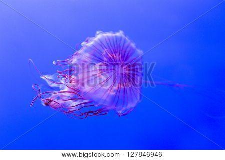 Jellyfish Kwown As Northern Sea Nettle, Chrysaora Melanaster
