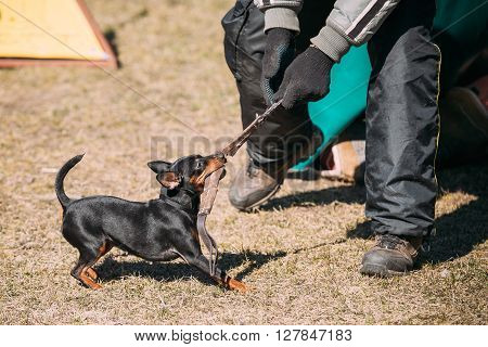 Miniature Pinscher Dog Training. Biting Dog. Zwergpinscher, Min Pin