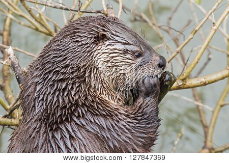 Portrait of a european otter in a wildpark
