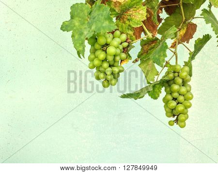 The Imperfect Grape With Rust Leaves On Green Wall