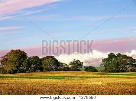 Golden Corn Kemback Sky