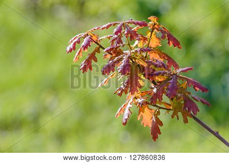 Young Red Quercus Robur Leaves