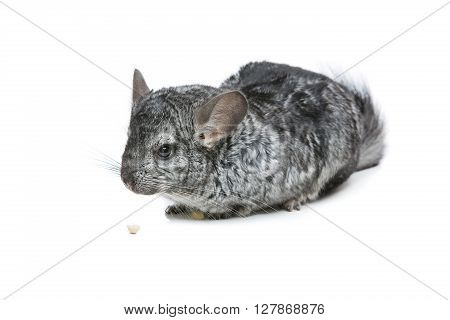 Cute adult chinchilla with nut isolated over white background. Copy space.
