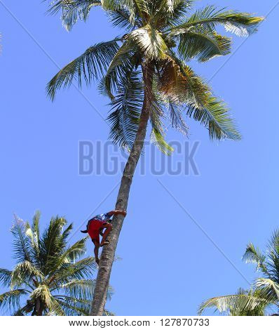 Coco climber in village, Negros island, Philippines, brave man on low-paid job, poor philippine people daily life, unsafe work, rural farmers area in tropical exotic nature, sunny day, blue sky, poster