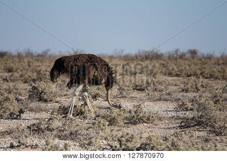 Adult female ostrich (Struthio camelus) in Etosha national park Namibia Africa.
