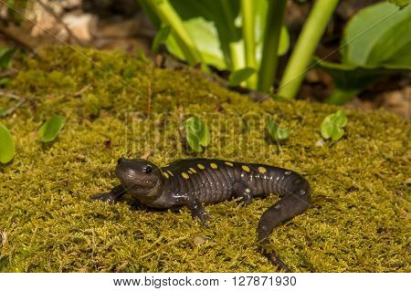 A close up of a Spotted Salamander crawling over a bed of moss near the vernal pool.