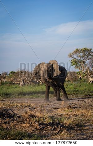 Angry elephant wirling its head and kicking up dust at the Okavango Delta of Botswana Africa.