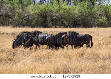 Blue Wilderbeest in the Okavango Delta. Gracing the in open fields. Botswana Africa.