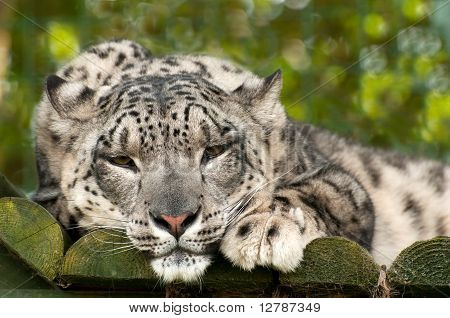 Ounce Or Snow Leopard